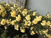 20100424黄色いバラ