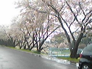 100411桜なみき