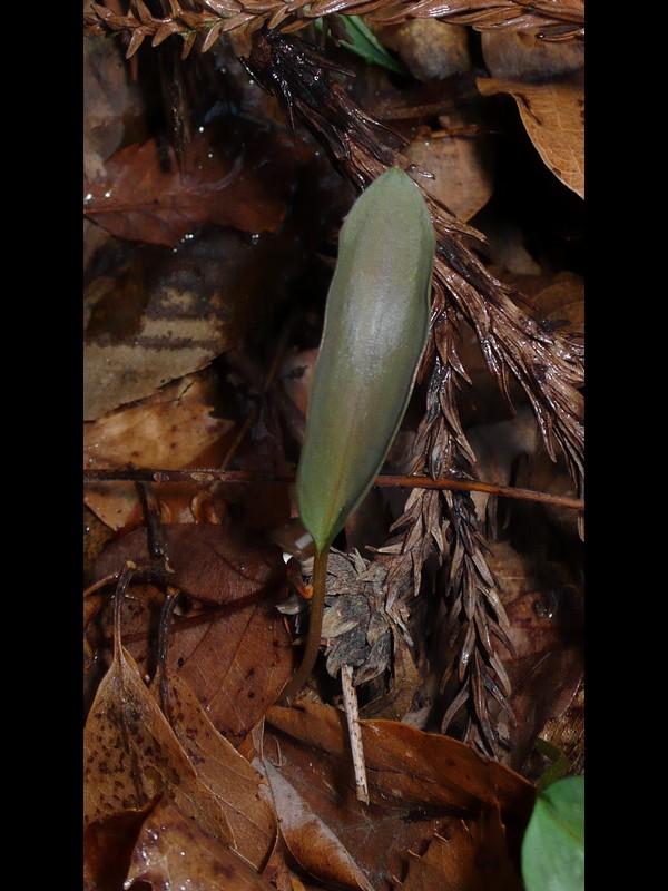 カタクリ 若い葉