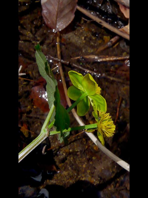 リュウキンカ 花の萼裏