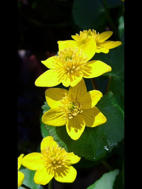 リュウキンカ 花