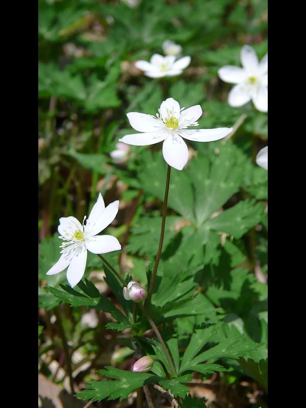 ニリンソウ 6萼の花