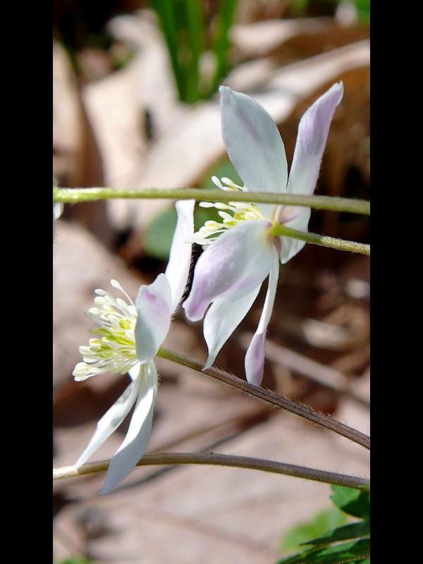 ニリンソウ 花の裏