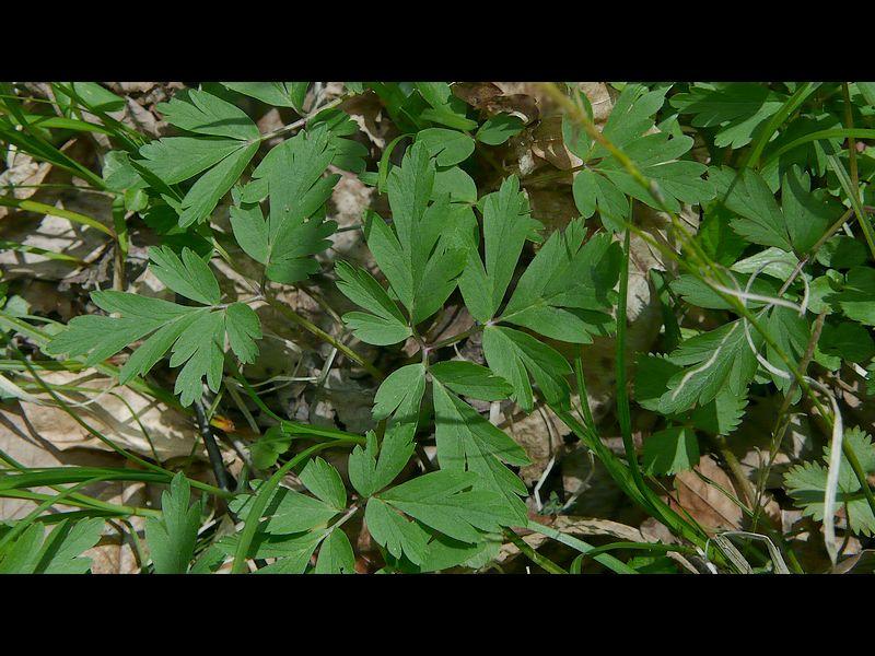 キクザキイチゲ (白) 根生葉