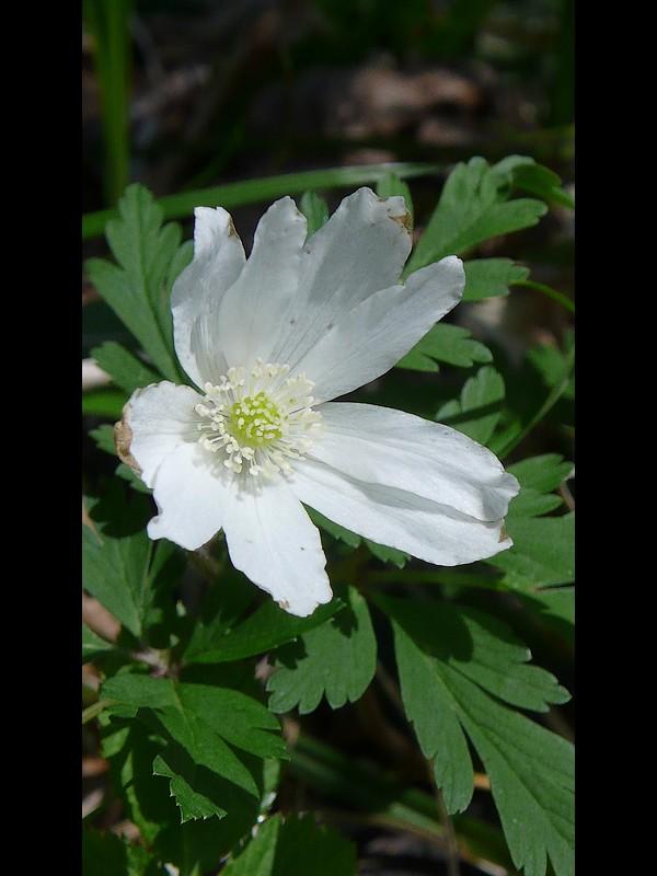 キクザキイチゲ (白) 花