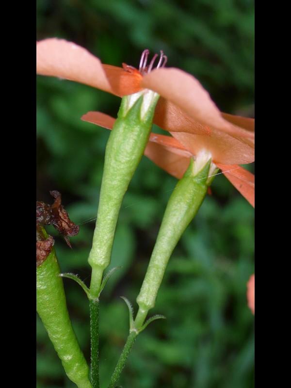フシグロセンノウ 花の横側