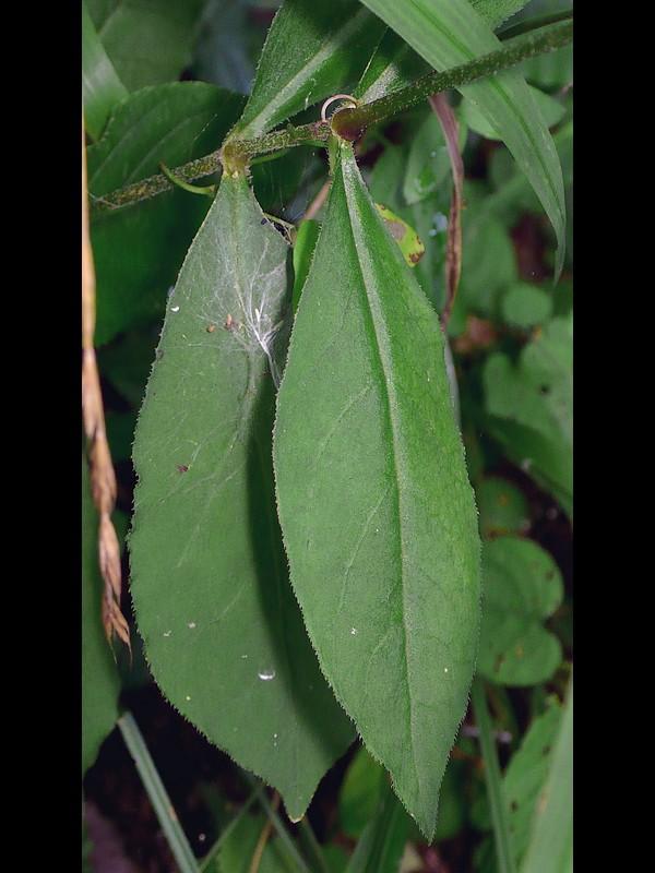 フシグロセンノウ 葉
