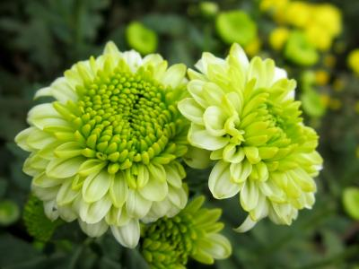 白と黄緑色の変わった菊