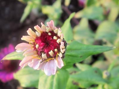 百日草 ピンク小さなお花 これから開きます。