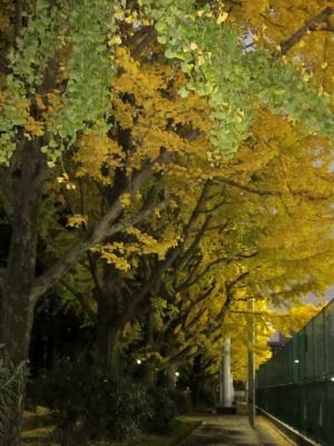 テニスコート横の銀杏並木