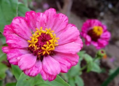 百日草 ピンクがふたつ