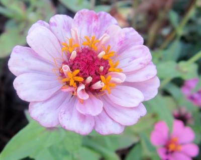 百日草 薄いピンク お花がふたつ