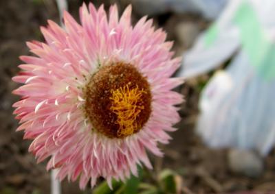 貝殻草 ピンク