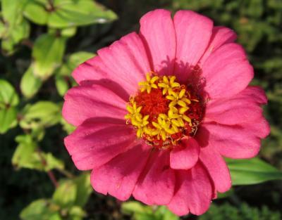 百日草 ピンク めしべの影