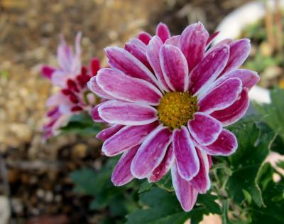 ピンクの菊 2色まじり