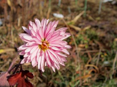 ピンク色の菊
