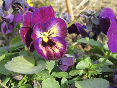 お花畑のぱんじぃー 紫