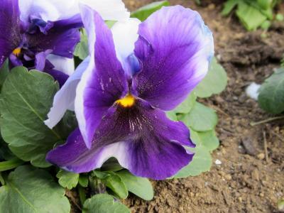 紫のぱんじぃー