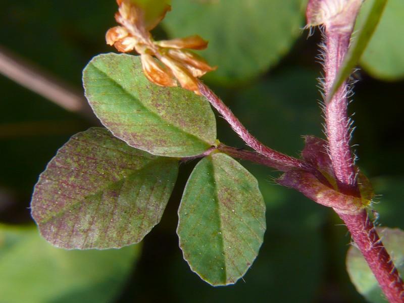 コメツブツメクサ 葉