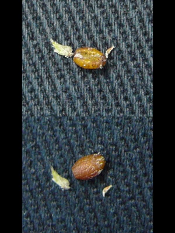ハナヤエムグラ 種子