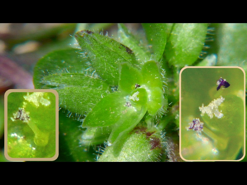イヌコハコベ 花