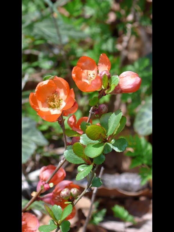 クサボケ 花