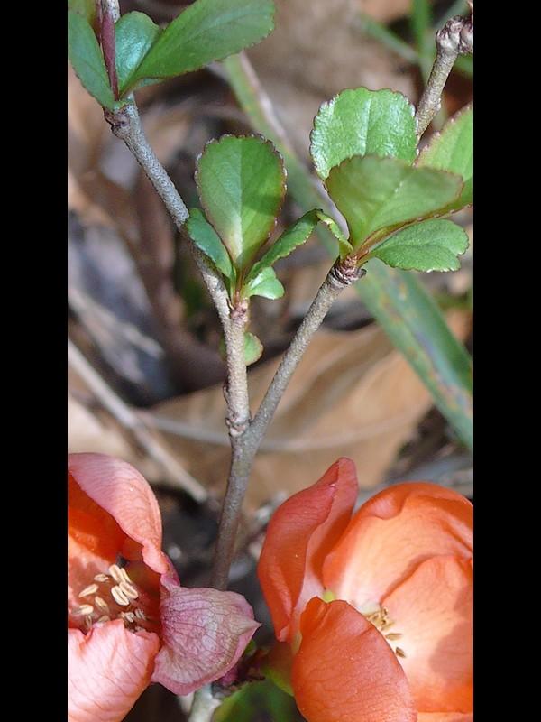 クサボケ 茎と葉