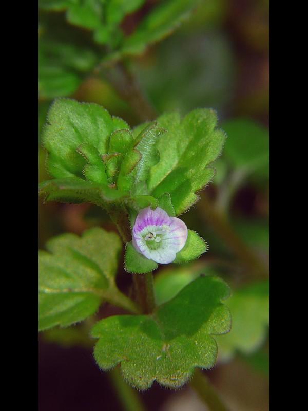 イヌノフグリ 花