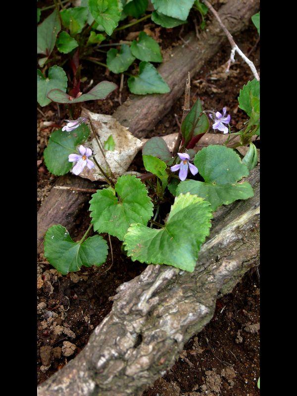 タチツボスミレ 小型花の個体の全景