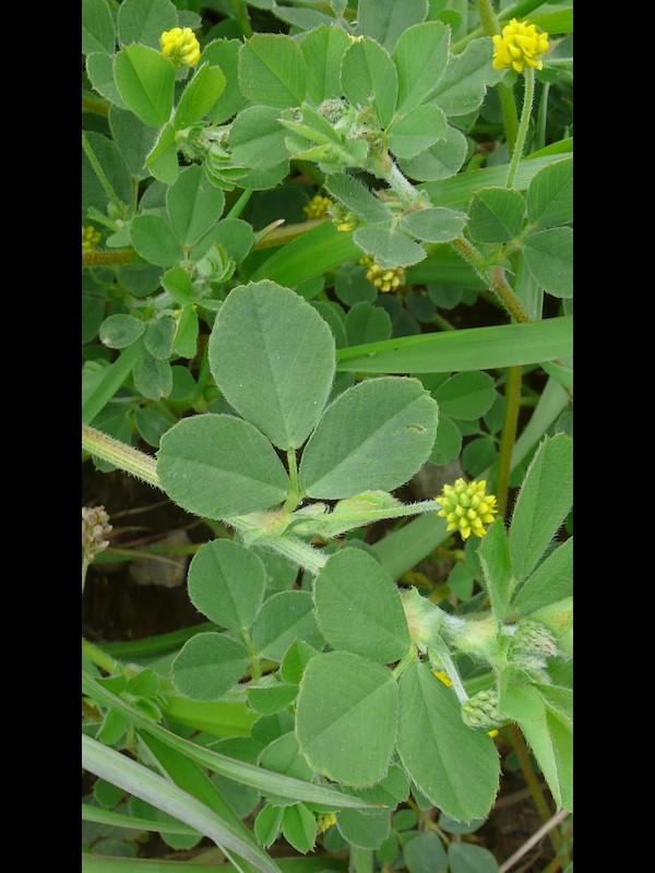 コメツブウマゴヤシ 葉
