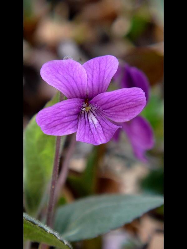 アカネスミレ 花