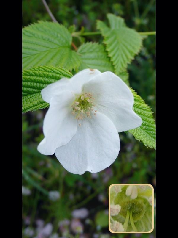 シロヤマブキ 花