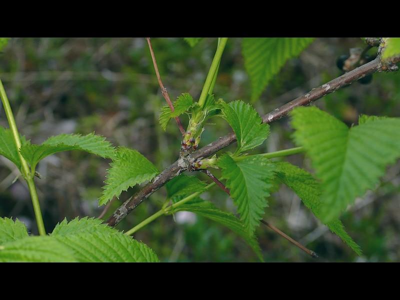 シロヤマブキ 茎