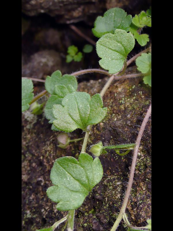 フラサバソウ 葉