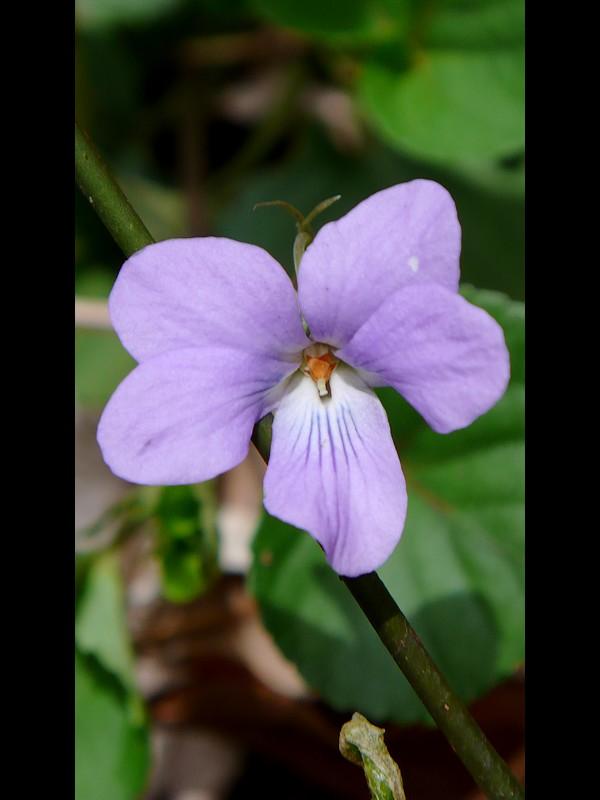 タチツボスミレ 花の拡大
