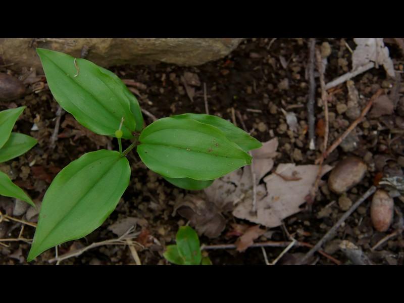 チゴユリ 葉
