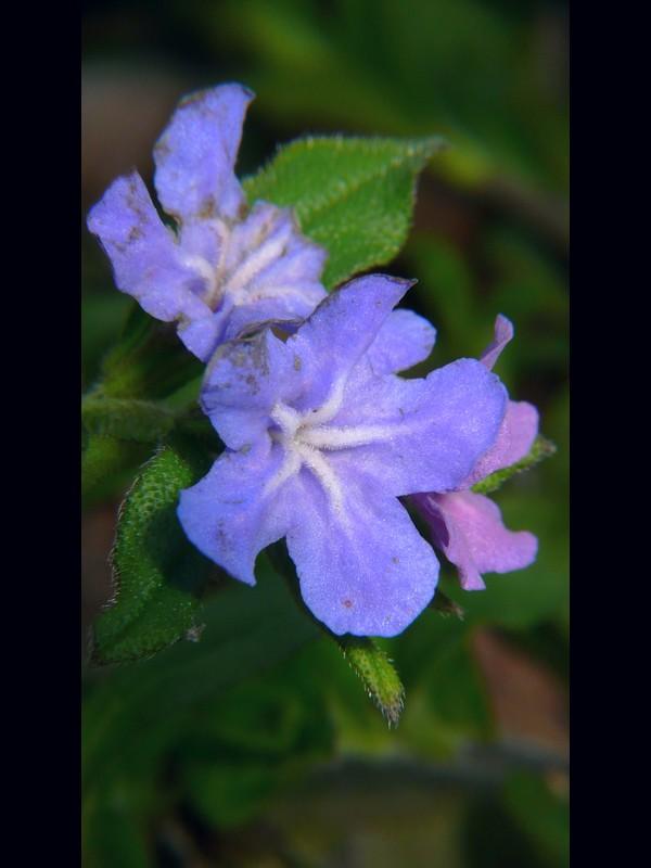 ホタルカズラ 花