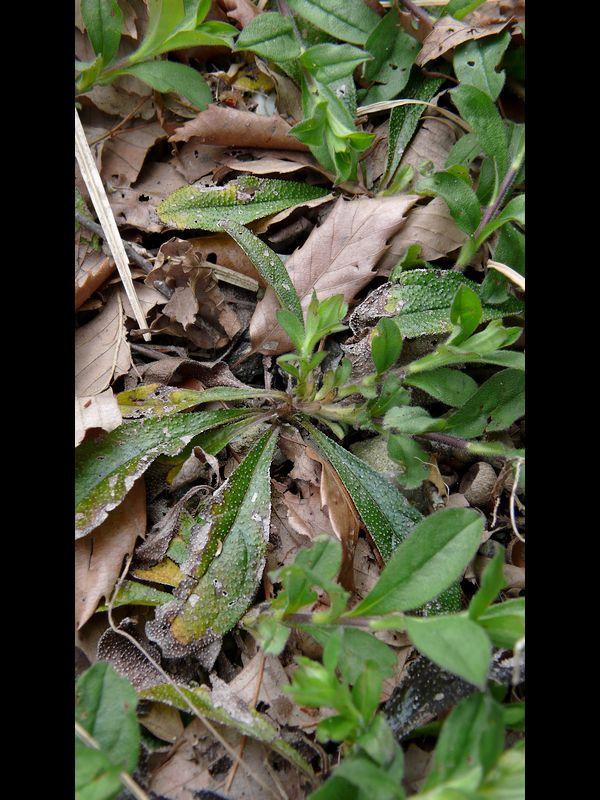 ホタルカズラ 下部の葉