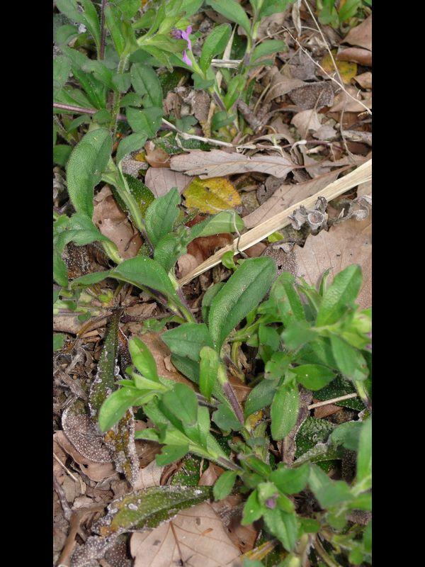 ホタルカズラ 葉と茎