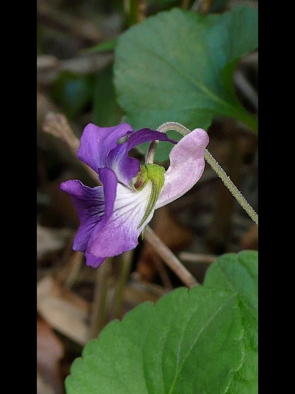 ニオイタチツボスミレ 花の横・距・萼