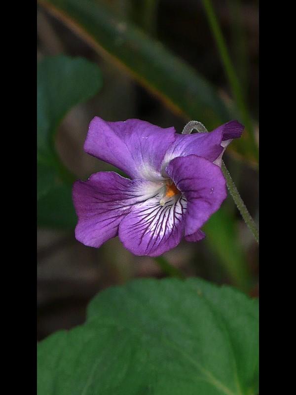 ニオイタチツボスミレ 花
