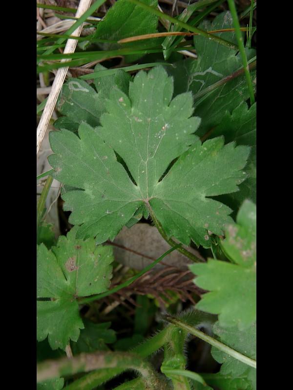 ウマノアシガタ 下部の葉