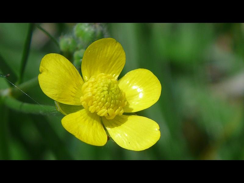 ウマノアシガタ 開花後オシベ葯が一部膨らんだもの