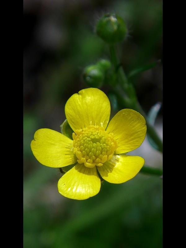 ウマノアシガタ 開花