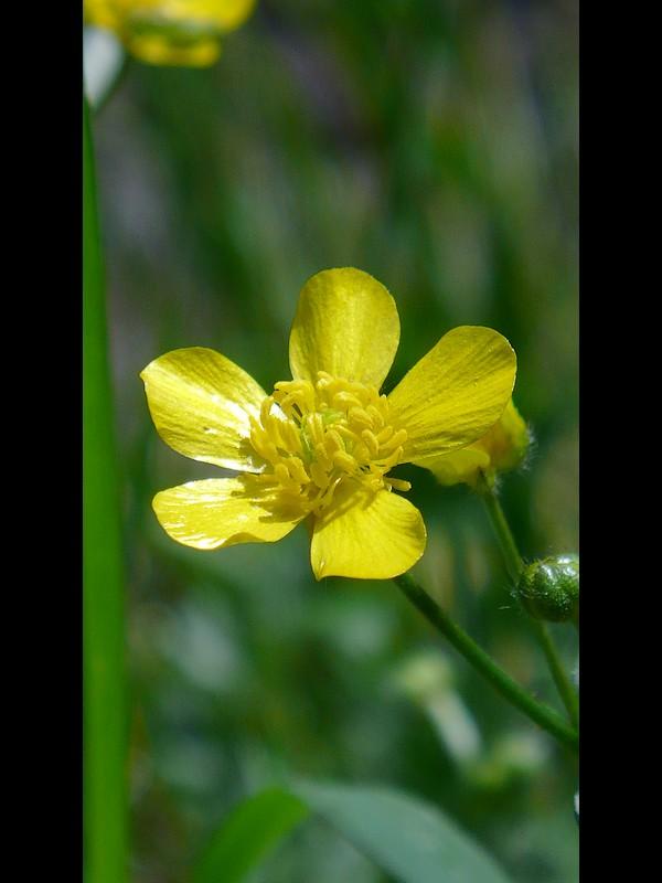 ウマノアシガタ オシベまで全開した花