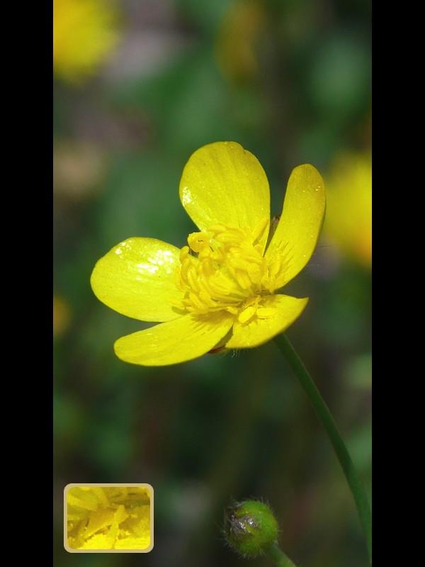 ウマノアシガタ 花