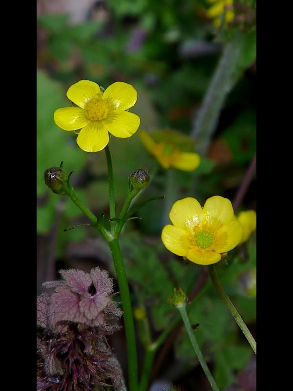 ウマノアシガタ 小輪の花