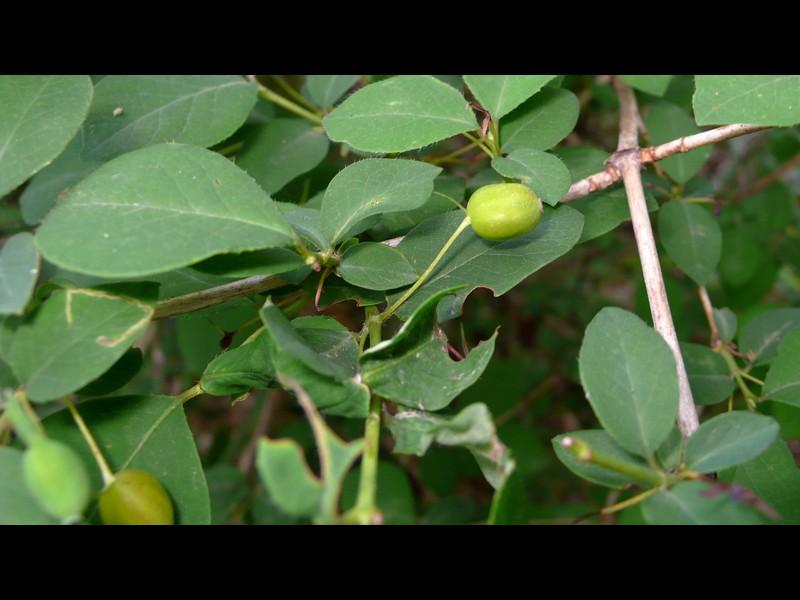ウグイスカグラ 若い果実