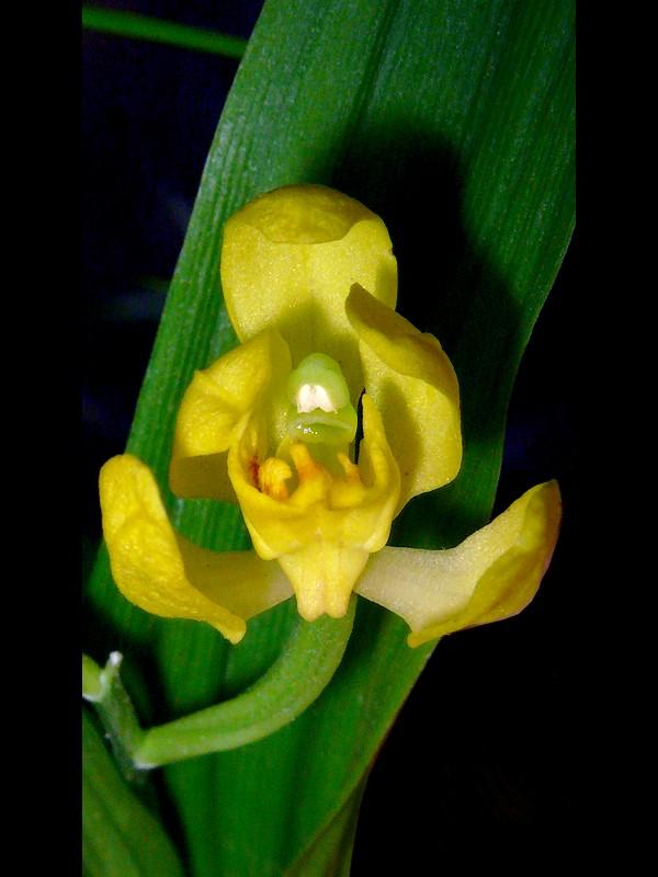 キンラン 花の距・蕊柱
