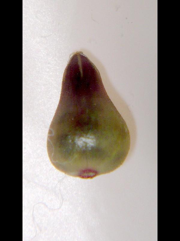 ノミノツヅリ 果実の拡大